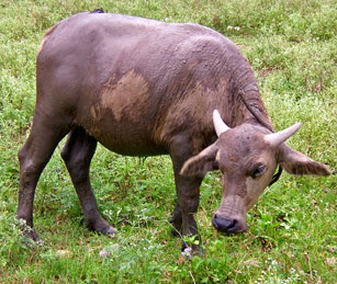 Who Knew Water Buffalo Made Good Yogurt