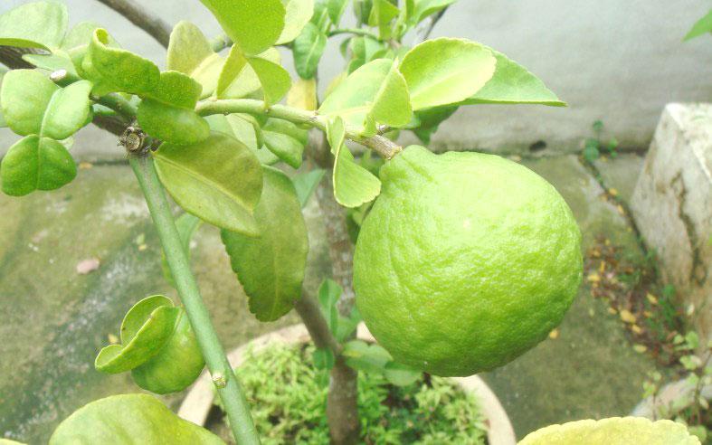 Kaffir Lime Makes Your Thai More Thai